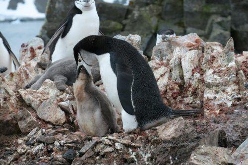 Pinguin mit Nachwuchs